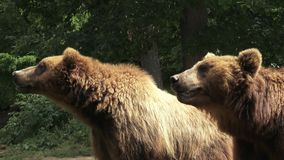 αντέχει τους καφετιούς βούβαλους δύο ζωολογικός κήπος απόθεμα βίντεο