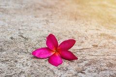 Αντίγραφο λουλουδιών Plumeria specs στο πάτωμα τσιμέντου Στοκ εικόνες με δικαίωμα ελεύθερης χρήσης