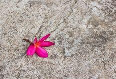 Αντίγραφο λουλουδιών Plumeria specs στο πάτωμα τσιμέντου Στοκ φωτογραφία με δικαίωμα ελεύθερης χρήσης