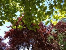 Αντίθεση μεταξύ πράσινα και κόκκινα δέντρα Στοκ Φωτογραφίες