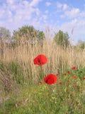 Αντίθεση των κόκκινων παπαρουνών και χλωμός - μπλε ουρανός στοκ εικόνα