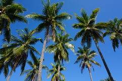 Αντίθεση Palmtree στο μπλε ουρανό στοκ εικόνα