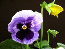 Αντίκτυπος Pansy, tricolor Viola Στοκ εικόνες με δικαίωμα ελεύθερης χρήσης