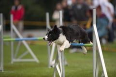 Ανταγωνισμός ευκινησίας σκυλιών Στοκ Εικόνες