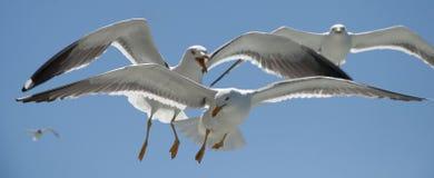 Ανταγωνισμός πουλιών Στοκ Φωτογραφίες