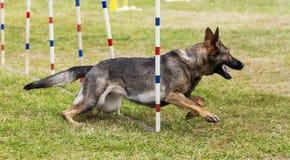 Ανταγωνισμός σκυλιών στοκ εικόνες