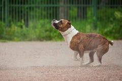 Ανταγωνισμός σκυλιών, κατάρτιση σκυλιών αστυνομίας, αθλητισμός σκυλιών Στοκ εικόνα με δικαίωμα ελεύθερης χρήσης