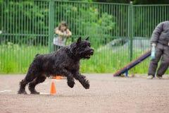 Ανταγωνισμός σκυλιών, κατάρτιση σκυλιών αστυνομίας, αθλητισμός σκυλιών Στοκ φωτογραφία με δικαίωμα ελεύθερης χρήσης