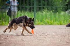 Ανταγωνισμός σκυλιών, κατάρτιση σκυλιών αστυνομίας, αθλητισμός σκυλιών Στοκ Φωτογραφία