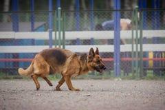 Ανταγωνισμός σκυλιών, κατάρτιση σκυλιών αστυνομίας, αθλητισμός σκυλιών Στοκ Εικόνες