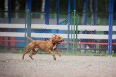 Ανταγωνισμός σκυλιών, κατάρτιση σκυλιών αστυνομίας, αθλητισμός σκυλιών Στοκ εικόνες με δικαίωμα ελεύθερης χρήσης