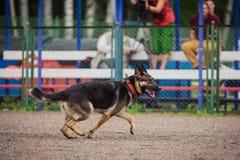 Ανταγωνισμός σκυλιών, κατάρτιση σκυλιών αστυνομίας, αθλητισμός σκυλιών Στοκ Εικόνα