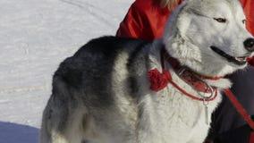 Ανταγωνισμός στο σκυλί ελκήθρων που συναγωνίζεται και που απόθεμα βίντεο