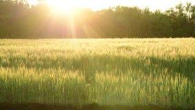 Ανταλλαγή του τομέα δημητριακών στις ακτίνες της ρύθμισης του ήλιου απόθεμα βίντεο