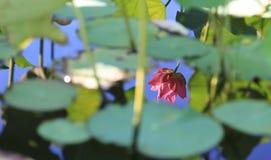 Αντανάκλαση ενός μόνου Lotus Στοκ φωτογραφία με δικαίωμα ελεύθερης χρήσης