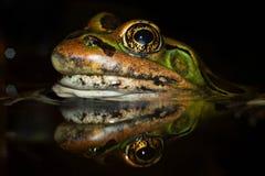 Αντανάκλαση ματιών βατράχων λεοπαρδάλεων Στοκ Φωτογραφία