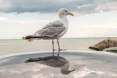 Αντανάκλαση πουλιών θάλασσας Στοκ εικόνες με δικαίωμα ελεύθερης χρήσης