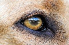 Αντανάκλαση στο μάτι του σκυλιού Στοκ Εικόνες