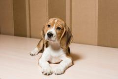 Αντανακλαστικό χαριτωμένο σκυλί με τα μεγάλα αυτιά στο εσωτερικό στοκ εικόνες με δικαίωμα ελεύθερης χρήσης