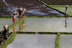 Αντανακλάσεις των εργαζομένων στους τομείς ρυζιού Στοκ Φωτογραφία