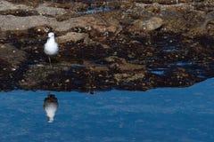 Αντανακλάσεις Seagull Στοκ Φωτογραφίες