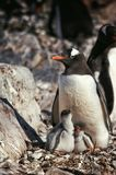 Ανταρκτική άγρια ζωή Στοκ Φωτογραφίες