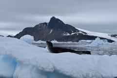 Ανταρκτική, σφραγίδα λεοπαρδάλεων Α σε ένα παγόβουνο στοκ εικόνες
