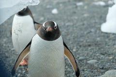 Ανταρκτική Gentoo penguins περίεργα που προσέχει από κάτω από ένα παγόβουνο στοκ εικόνα