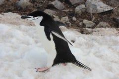 Ανταρκτική - Penguins Στοκ εικόνα με δικαίωμα ελεύθερης χρήσης