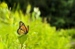 αντιβασιλέας limenitis πεταλούδων archippus Στοκ Εικόνες