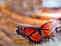 αντιβασιλέας limenitis πεταλούδων archippus Στοκ Φωτογραφία