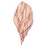 Αντικείμενο ζωής θάλασσας φυκιών που απομονώνεται στο άσπρο υπόβαθρο Συρμένη χέρι χρωματισμένη απεικόνιση Watercolor Υποβρύχιο wa ελεύθερη απεικόνιση δικαιώματος