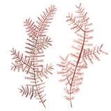 Αντικείμενο ζωής θάλασσας φυκιών που απομονώνεται στο άσπρο υπόβαθρο Συρμένη χέρι χρωματισμένη απεικόνιση Watercolor Υποβρύχιο wa στοκ εικόνες με δικαίωμα ελεύθερης χρήσης