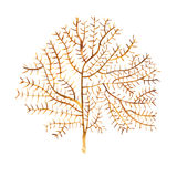 Αντικείμενο ζωής θάλασσας φυκιών στο άσπρο υπόβαθρο Συρμένη χέρι χρωματισμένη απεικόνιση Watercolor Υποβρύχιο watercolor ελεύθερη απεικόνιση δικαιώματος