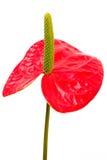 Αντικείμενο στο λευκό - Anthurium στενός επάνω λουλουδιών Στοκ Φωτογραφίες