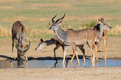 Αντιλόπες Kudu Στοκ Εικόνες