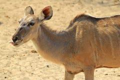 Αντιλόπη Kudu - αφρικανικό υπόβαθρο άγριας φύσης - αστεία φύση Στοκ Εικόνες