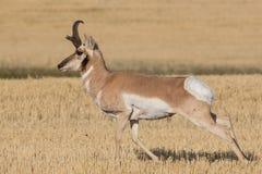Αντιλόπη Pronghorn που τρέχει μέσω του τομέα στοκ εικόνα με δικαίωμα ελεύθερης χρήσης