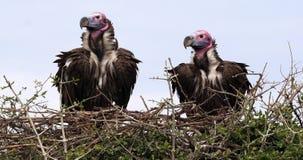 Αντιμέτωπος Lappet γύπας, tracheliotus torgos, ζευγάρι που στέκεται στο πάρκο Masai Mara φωλιών στην Κένυα, απόθεμα βίντεο