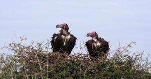 Αντιμέτωπος Lappet γύπας, tracheliotus torgos, ζευγάρι που στέκεται στο πάρκο Masai Mara φωλιών στην Κένυα, φιλμ μικρού μήκους