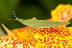 αντιμέτωπο grasshopper ράπισμα Στοκ Εικόνες