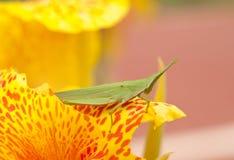 αντιμέτωπο grasshopper ράπισμα Στοκ εικόνες με δικαίωμα ελεύθερης χρήσης