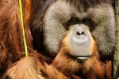 αντιμετωπίστε orangutang Στοκ Φωτογραφία
