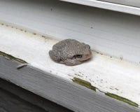 Αντιμετώπισε γκρίζος βάτραχος δέντρων Στοκ εικόνα με δικαίωμα ελεύθερης χρήσης