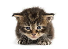Αντιμετώπιση γατακιών του Μαίην coon Στοκ φωτογραφία με δικαίωμα ελεύθερης χρήσης