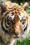 αντιμετώπιση της τίγρης Στοκ εικόνα με δικαίωμα ελεύθερης χρήσης