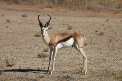 Αντιδορκάδα, marsupialis Antidorcas, Καλαχάρη, Νότια Αφρική Στοκ φωτογραφία με δικαίωμα ελεύθερης χρήσης