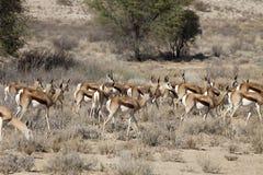 Αντιδορκάδα, marsupialis Antidorcas, Καλαχάρη, Νότια Αφρική Στοκ εικόνα με δικαίωμα ελεύθερης χρήσης
