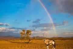 Αντιλόπη -αντιλόπη-oryx που στέκεται κάτω από το ουράνιο τόξο Στοκ Εικόνα