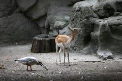 Αντιλόπη και πάπια στο ζωολογικό κήπο Στοκ εικόνες με δικαίωμα ελεύθερης χρήσης